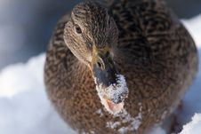 Free Mallard Duck Female Portrait In Winter Stock Image - 15812591