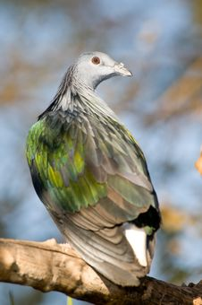 Free Pigeon Portrait. Royalty Free Stock Images - 15812599