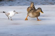 Free Duck And Gull On Ice Royalty Free Stock Images - 15812619