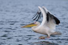 White Pelican Taking Off Royalty Free Stock Photos