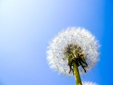 Free Dandelion Royalty Free Stock Photos - 15812808