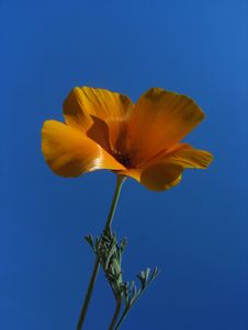 Free Orange Flower (Eschscholzia) Against Blue Sky Royalty Free Stock Photography - 15813897