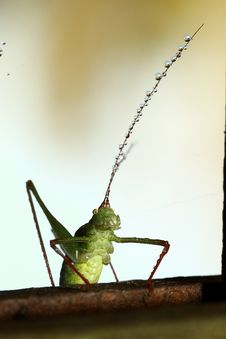 Free Grasshopper Collecting Morning Dew. Stock Image - 15814341