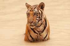 Free Tiger Take Bath Royalty Free Stock Photo - 15814525