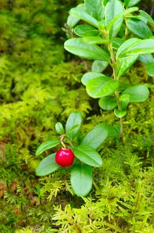 Free Cowberry. Royalty Free Stock Photo - 15815025