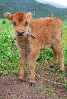 Free Brown Calf Royalty Free Stock Image - 15815146