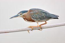 Free Green Heron Royalty Free Stock Photography - 15816897