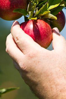 Free Man Picking Red Apple Royalty Free Stock Images - 15817359