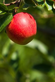 Single Red Apple Stock Images