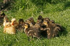 Free Ducklings Of A Mallard On A Meadow In Spring Royalty Free Stock Photo - 15817895