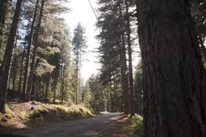 Free Road In A Forest Pine Royalty Free Stock Images - 15818889