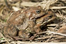 Free Frogs Royalty Free Stock Image - 15819116