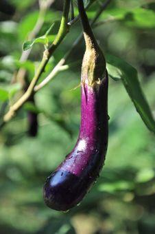 Free Eggplant Stock Photo - 15819320