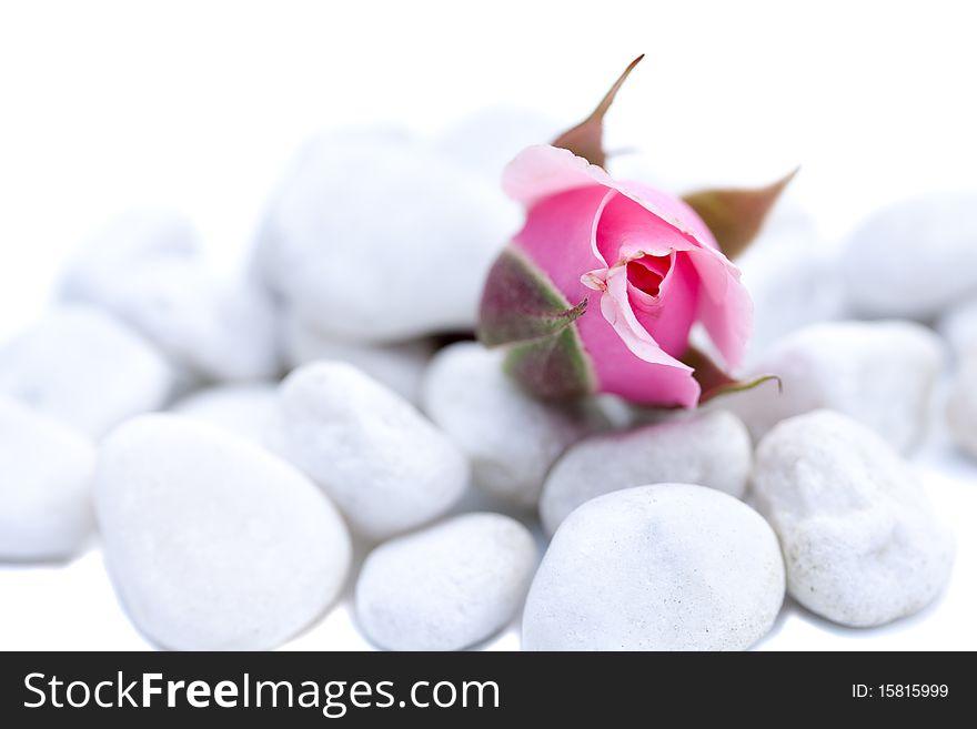 Still life of a pink rose