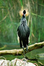 Free African Crowned Crane (Balearica Regulorum) Stock Photos - 15823763