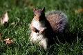 Free Squirrel Stock Photos - 15826533