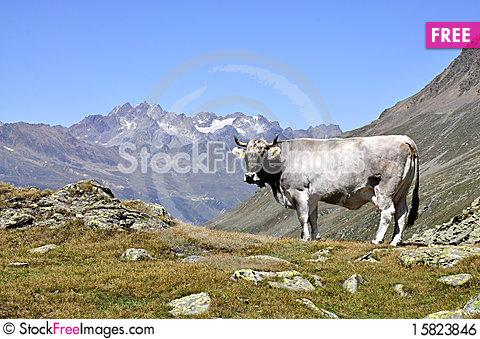 Free Cows In Alps Royalty Free Stock Image - 15823846