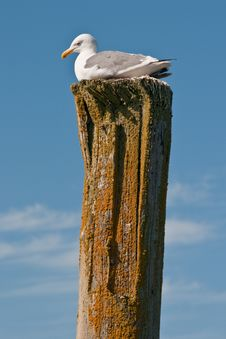 Free Seagull Atop Piling Royalty Free Stock Image - 15820546