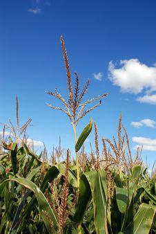 Free Rows Of Corn Stalks Growing Stock Photos - 15820793