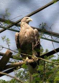 Free Eagle Royalty Free Stock Photos - 15820868