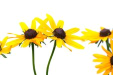 Free Yellow Rudbeckia Stock Photos - 15821423