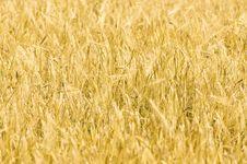 Free Yellow Wheat Field Royalty Free Stock Photo - 15821615