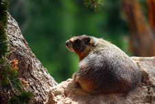 Free Yellow Bellied Marmot (marmota Flaviventris) Royalty Free Stock Photos - 15821718