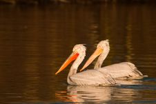 Free Dalmatian Pelicans Pair Royalty Free Stock Images - 15821789