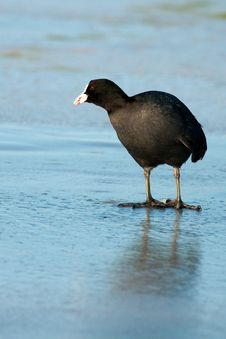 Free Common Coot On Ice Royalty Free Stock Image - 15821826