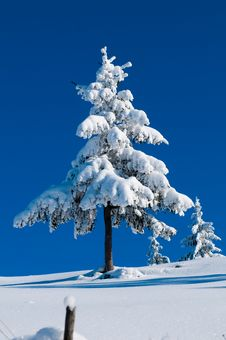 Free Fir Covered With Snow In Winter Stock Images - 15821974