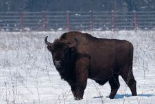 Free European Bison (Bison Bonasius) In Winter Stock Image - 15821991