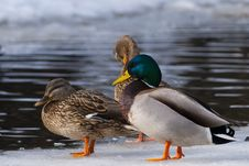Free Mallard Ducks On Ice Royalty Free Stock Photo - 15822005