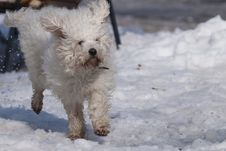 Free White Dog Running In Snow Royalty Free Stock Image - 15822026
