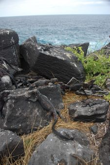 Free Galapagos Iguanas Stock Image - 15822091