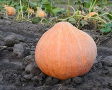 Big Pumpkin Royalty Free Stock Image
