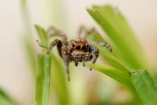 Free Jumping Spider Royalty Free Stock Photos - 15823658