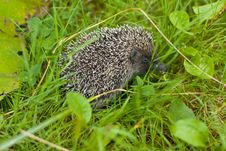 Free Hedgehog In The Grass Stock Photos - 15823883