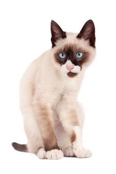 Free Cute Young Siamese Stock Image - 15824511