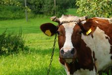 Cow On Meadow Stock Photo