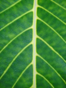Free Line On Leaf Stock Image - 15825331