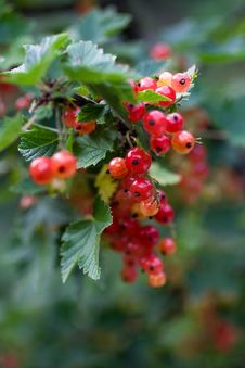 Free Red Currant Stock Photography - 15825372