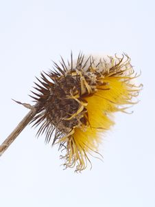 Burdock Dried Fruit Royalty Free Stock Photography