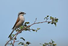 Shrike In Tree Royalty Free Stock Photo