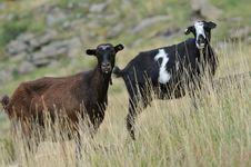 Free Goats Stock Photos - 15825973