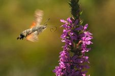 Free Colibri Moth Stock Images - 15826124
