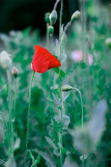 Free Red Poppy Royalty Free Stock Photos - 15826308