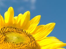 Free Sunflower Royalty Free Stock Image - 15827086