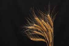 Free Wheat On Dark Royalty Free Stock Photography - 15828407