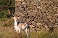 Free Young Fallow Deer Buck Stock Photos - 15835383