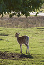 Free Young Fallow Deer Buck Royalty Free Stock Photos - 15835488